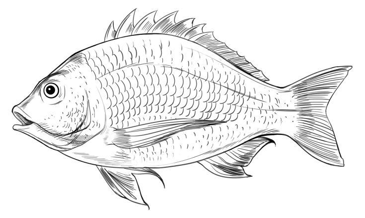 Acanthopagrus butcheri