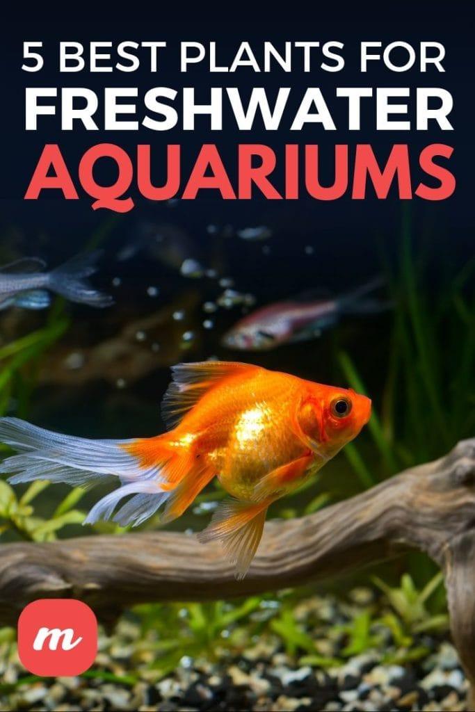 5 Best Plants For Freshwater Aquariums