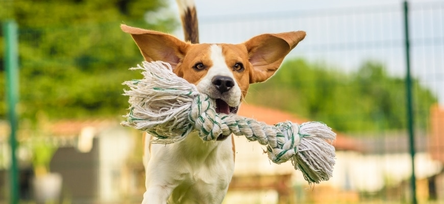 Dog playing with rope dog toy