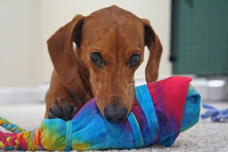 Dachshund with DIY Dog Toy