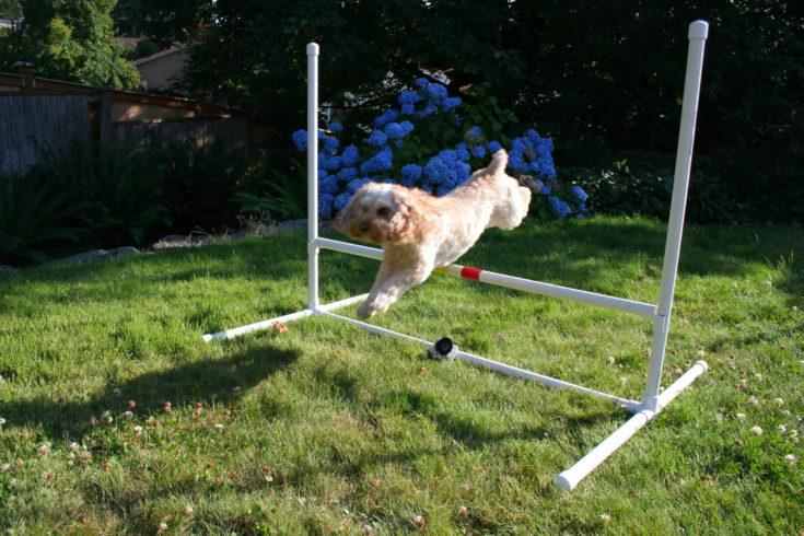 Dog jumping on DIY pvc pipe jumper.