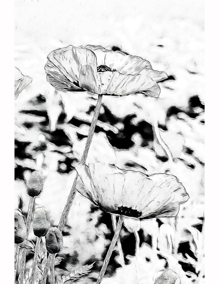 Poppies on Pyrography Paper