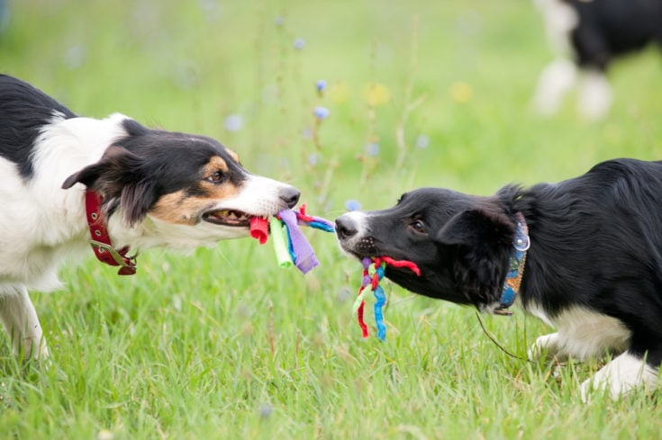 Two dogs border collie playing with rope toy in summer