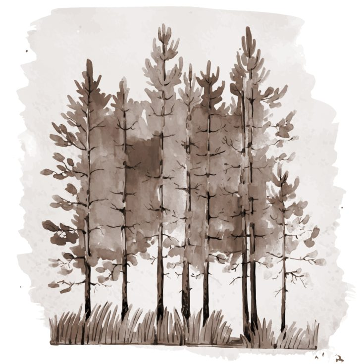 Vintage style monochrome illustration of young pine-tree forest. Watercolor sepia painting