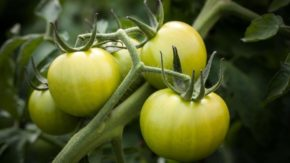 The Best Hydroponic Systems for Tomatoes
