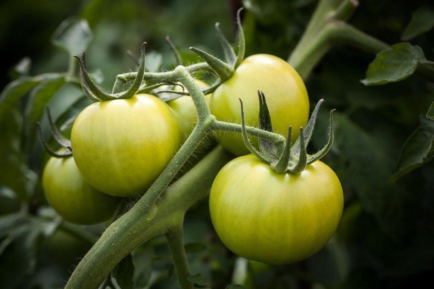 Focus shot of Tomatoes
